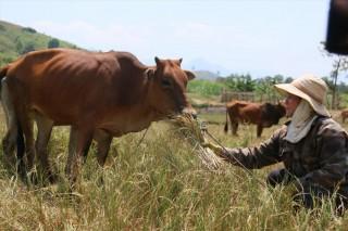 Cư Pui - Mùa khô hạn, người dân đau xót cắt lúa cho bò ăn mỗi ngày